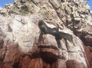 lobos marinos