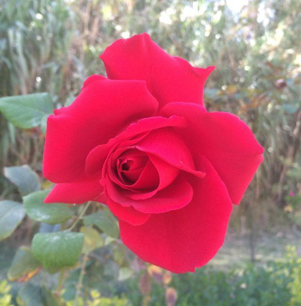 La rosa de Jade