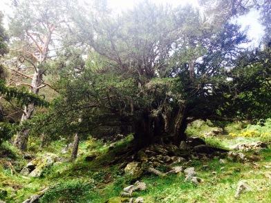 Uno de los tejos más antiguos de la Penínula Ibércia
